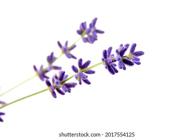 Lavender flowers isolated on white background. Fresh purple summer flowers closeup
