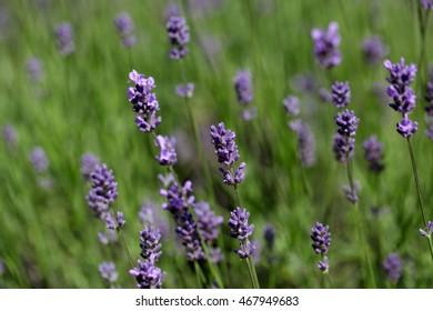 Lavender flowers (Lavandula angustifolia) in a field.