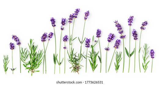 Lavender flowers and leaves creative banner and collection isolated on white background. Top view, flat lay. Floral composition and design. Healthy eating and alternative medicine concept