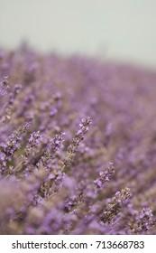 Lavender flowers on a lavender farm