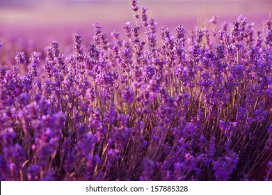 Lavender Flowers on lavender field at France. Aromatherapy.