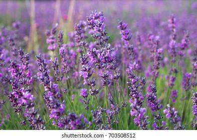 Lavender flowers on the field. Natural flower arrangement