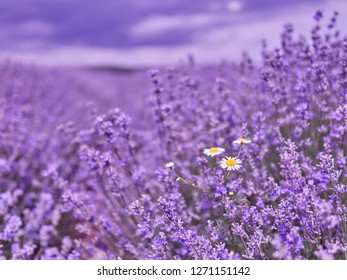 lavender flowers on field in summer