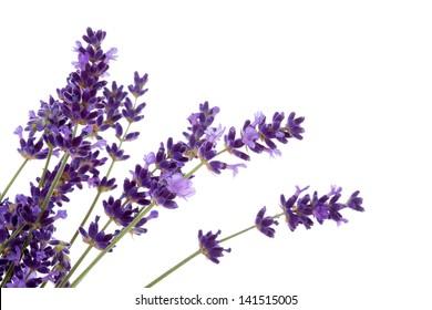 Lavender flowers over white background
