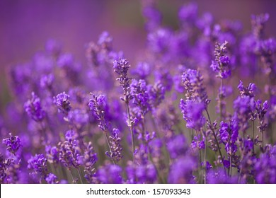 Lavender Flowers at purple lavender field. Aromatherapy lavender flowers. lavender field Summer sunset landscape. Bunch of scented flowers in lavanda fields of French Provence. Violet lavender