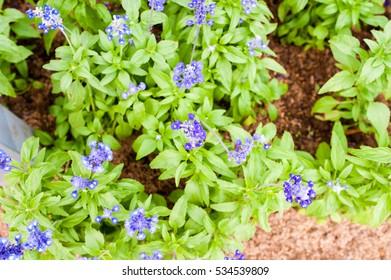 Lavender Flowers selective focus