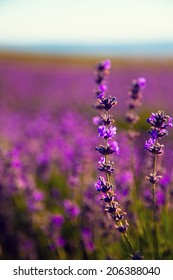 Lavender Flowers, selective focus on one branch