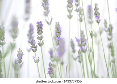 Lavender flowers shot isolated on a white background. The concept of organic cosmetics, natural skin and hair care