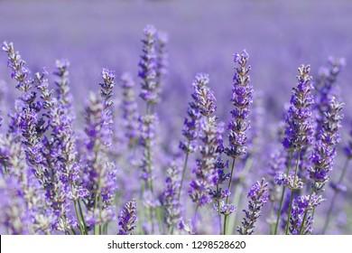 Lavender flowers in spring