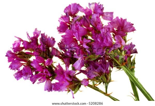 Lavender flowers of Statice Limonium Sinuatum on white background