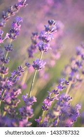 Lavender flowers in the sun. Lavender field in Provence.