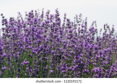Lavender flowers at sunlight with light background in soft focus.