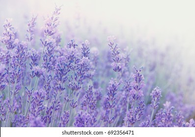 Lavender flowers at sunlight in a soft focus, pastel colors and blur background. Violet lavande field in Provence with place for text on the top right corner.
