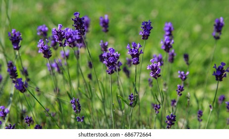 Lavender flowers. Sunny day. Natural seasonal background. Shallow depth of field