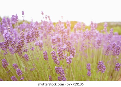 lavender flowers - Sunset over a summer purple lavender field.