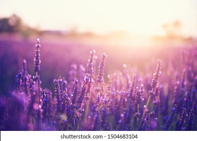 Lavender flowers at sunset in Provence, France. Vintage filter. Beautiful floral background