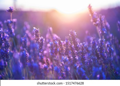 Lavender flowers at sunset in Provence, France. Macro image. Beautiful summer nature background