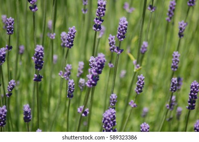 Lavender in full bloom on a mid summer day.