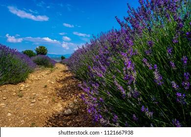 Lavender , Lavender garden