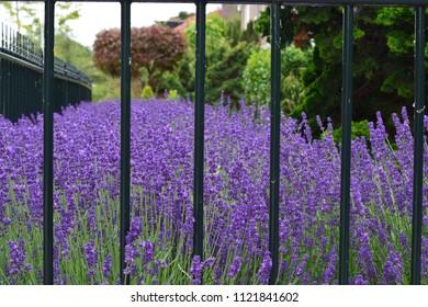 A lavender garden