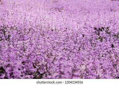 Lavender garden flower field