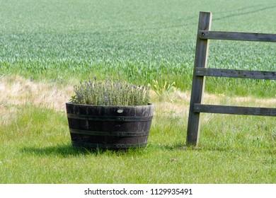 Lavender gorwing in wooden barrel planter on farm