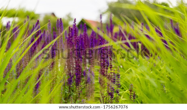 Lavender in the grass. Ripe flowers. Wild plants. Fresh herbs.
