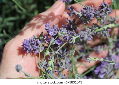 Lavender in the hands