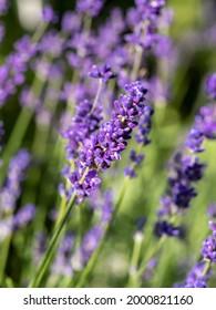 Lavender haul in the morning sun