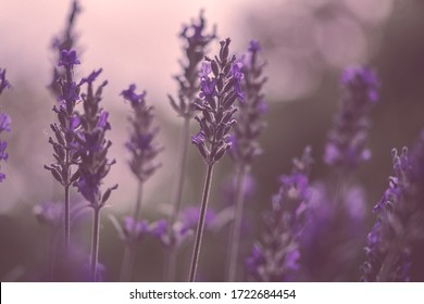 Lavender in the hazy evening time for me