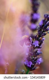 Lavender herbs in the garden