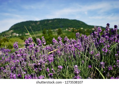 Lavender with a hill in the background (Badacsony - Hungary)