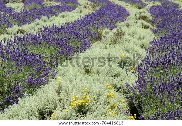 Lavender Interspersed Curry Plant Lavandula Helichrysum