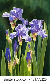 Lavender Irises and Buds with Dark Background.  Watercolor painting of lavender or purple irises and buds with leaves and a dark blue green background hand painted.