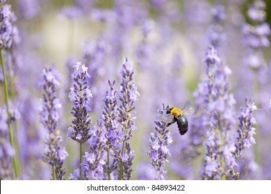 Lavender and Large Carpenter Bee