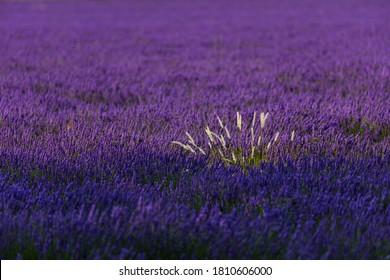 Lavender (lavandin) plant fields in Valensole Plateau of the Alps in Haute Provence region of France, Europe