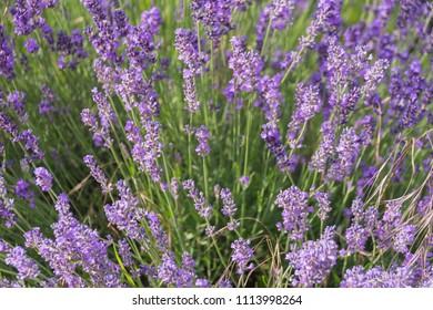 Lavender (Lavandula angustifolia) in bloom in spring