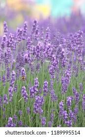 Lavender, Lavandula angustifolia, Lavandula officinalis