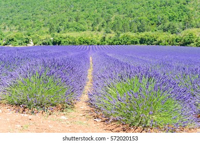 Lavender (Lavandula) field in summer in the Provence, south of France, Europe, selective focus