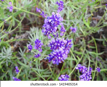 Lavender, many blue flowers in the garden. Poland