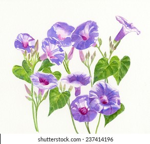 Lavender Morning Glory Flowers .  Watercolor illustration of lavender, blue, violet morning glories with buds and leaves with a white background.