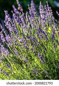 Lavender in the morning sun