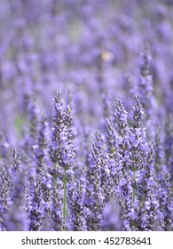 lavender from nagano, Japan