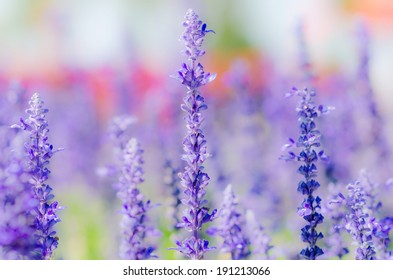 Lavender in the Nature.