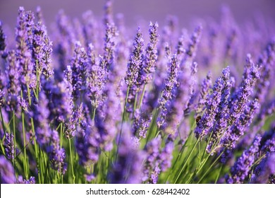 Lavender nature background, purple flowering field in Provence, Plateau de Valensole, France. Selective focus