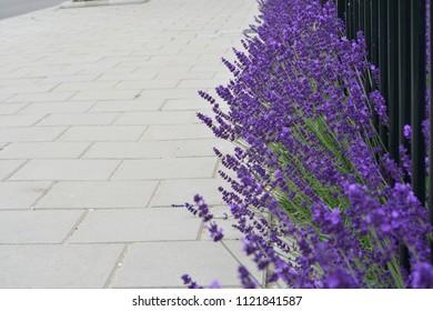 Lavender next to a sidewalk
