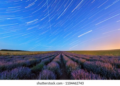 Lavender in the night