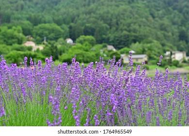 Lavender on the shores of Lake Kawaguchiko