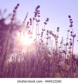 Lavender on sunset. field. Nature vackground