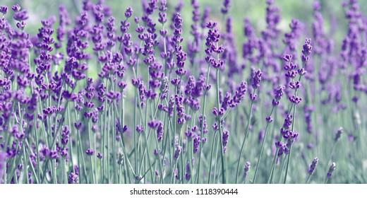 Lavender Panorama blue